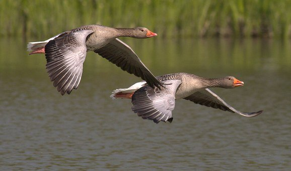 canada-geese-348290__340