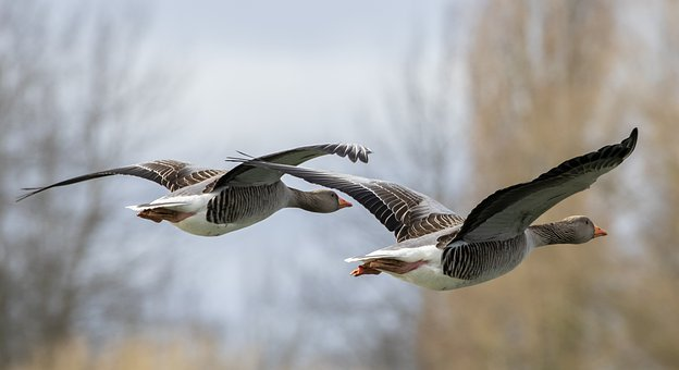 flying-geese-4913534__340