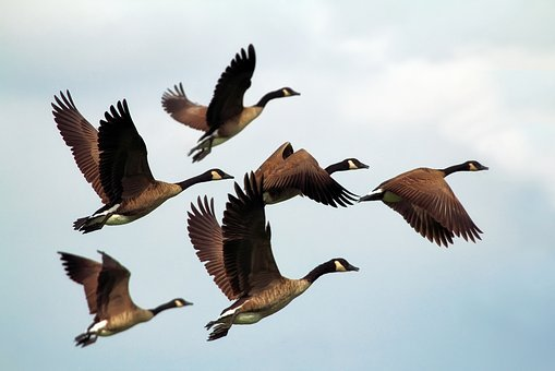 geese-1990202__340