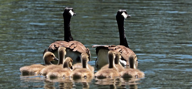 geese-2494952__340